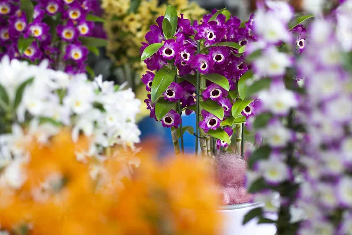 Orchidee Keukenhof
