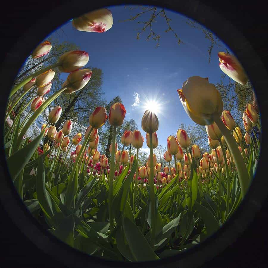 Tulpen fotografie Keukenhof