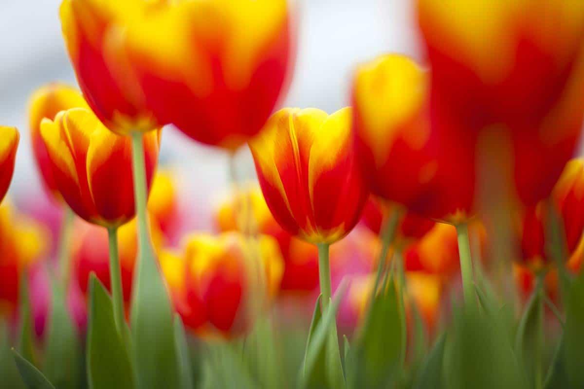 Tulpen foto fotografie Keukenhof
