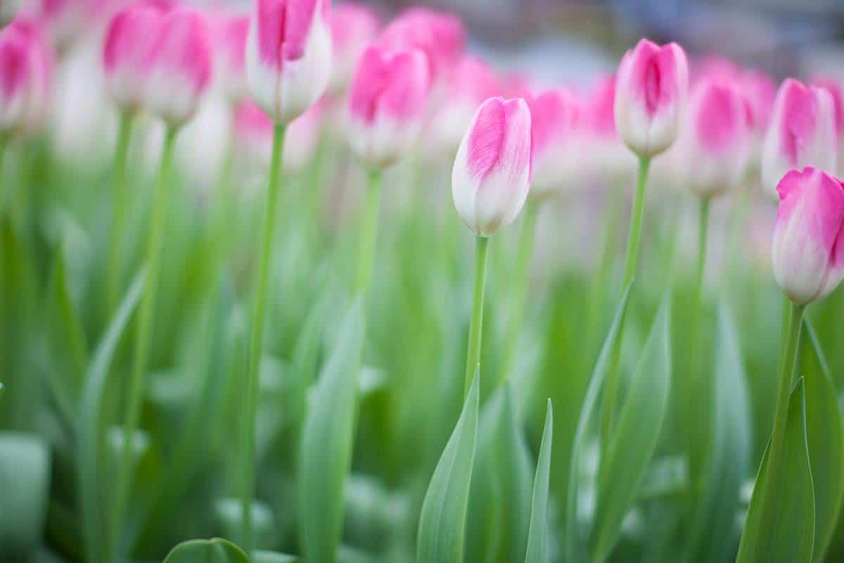 tulpen tulips foto photo fotografie Keukenhof 2013