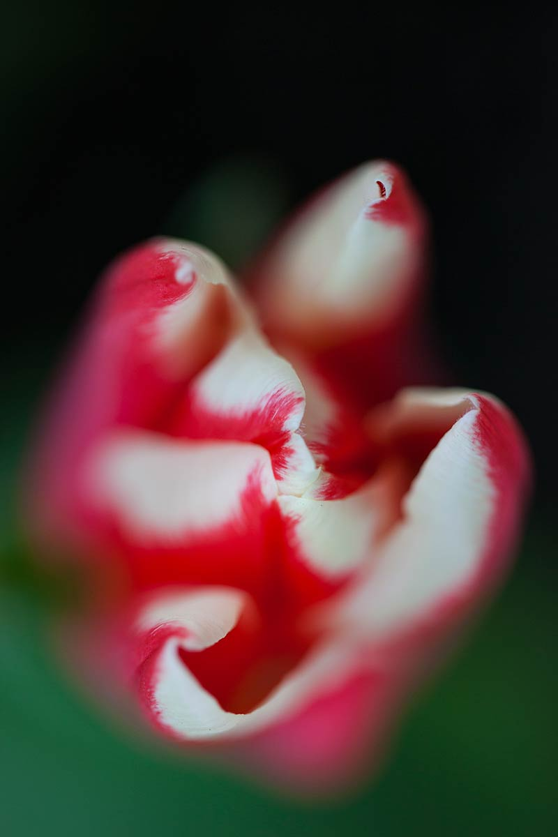tulpen tulips foto photo fotografie Keukenhof 2013 macro