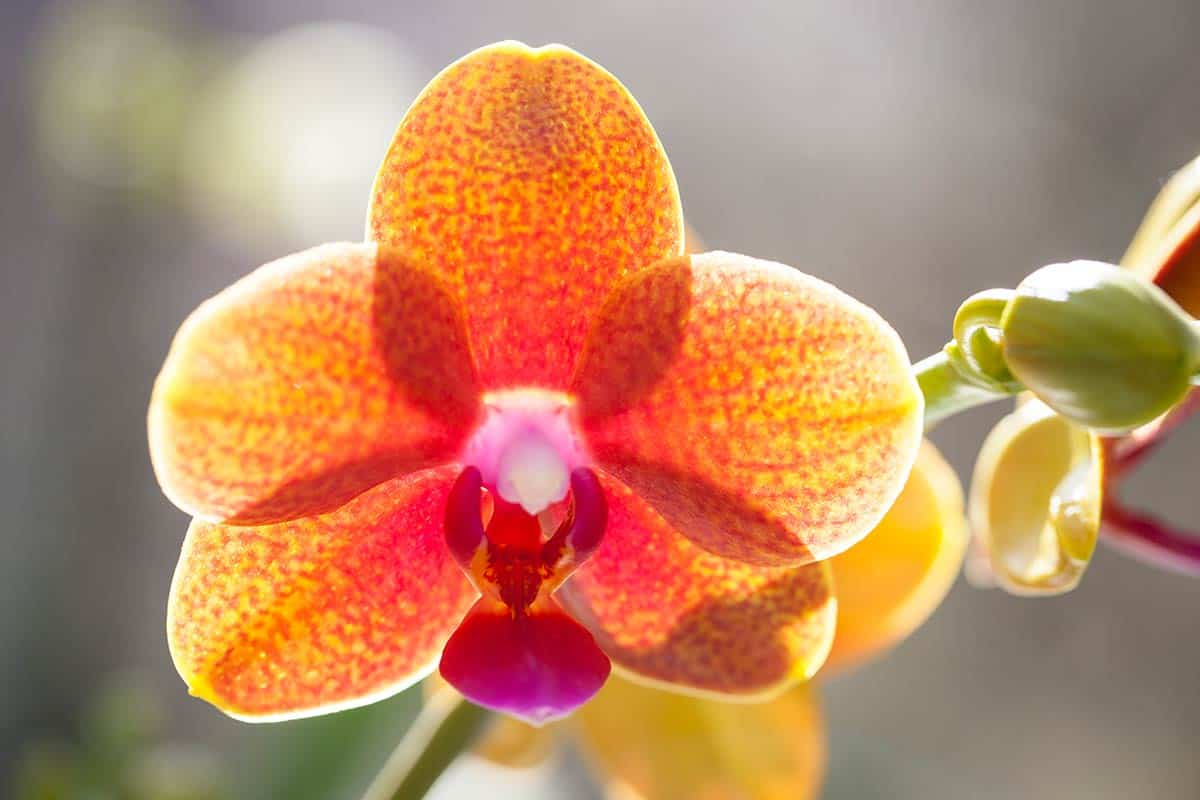 Orchidee orchid foto fotografie Keukenhof 2013