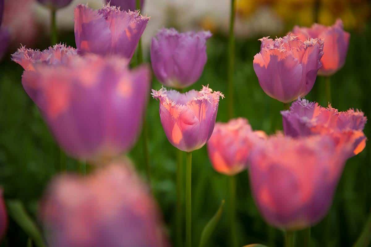 tulpen tulips Keukenhof Lisse photo