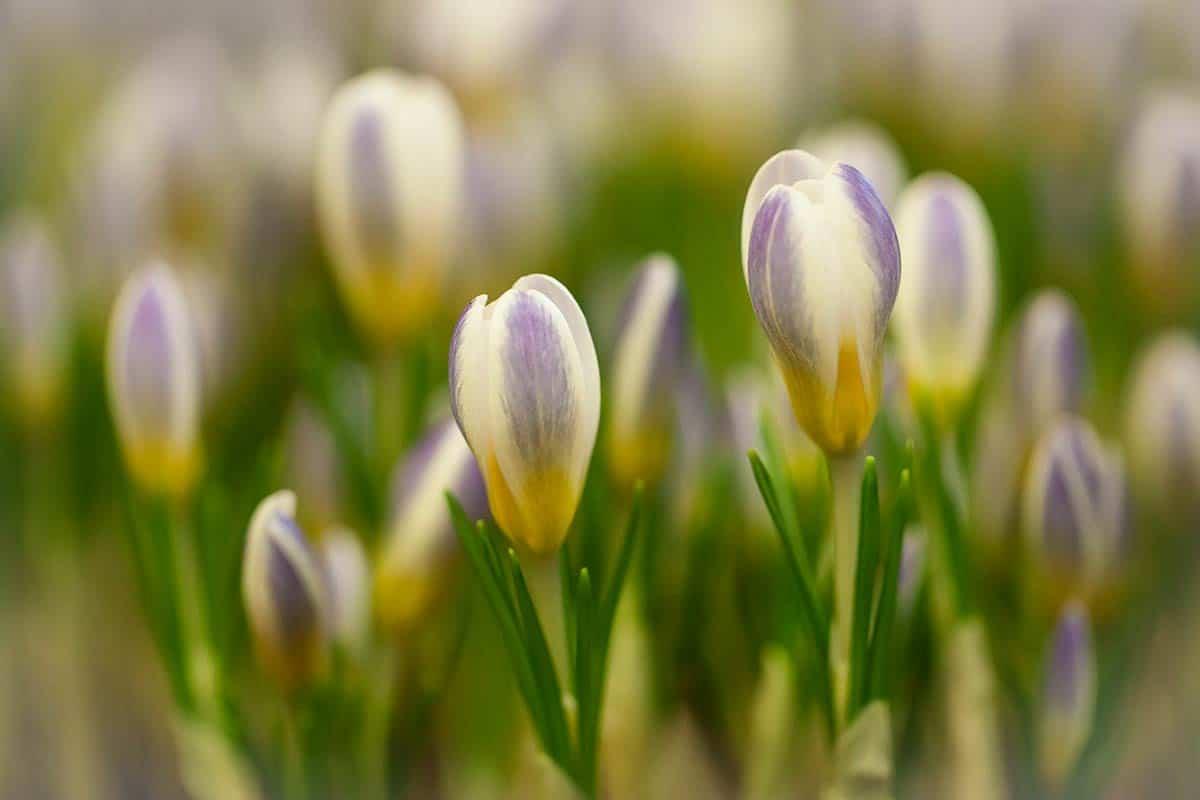 macro fotografie bloemen Keukenhof