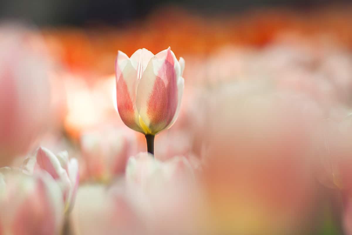 Dutch Tulips Photography Keukenhof 2014 fotografie
