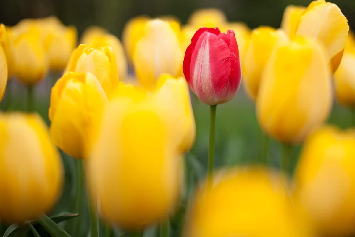 Keukenhof photography 2014 Netherlands dutch tulips
