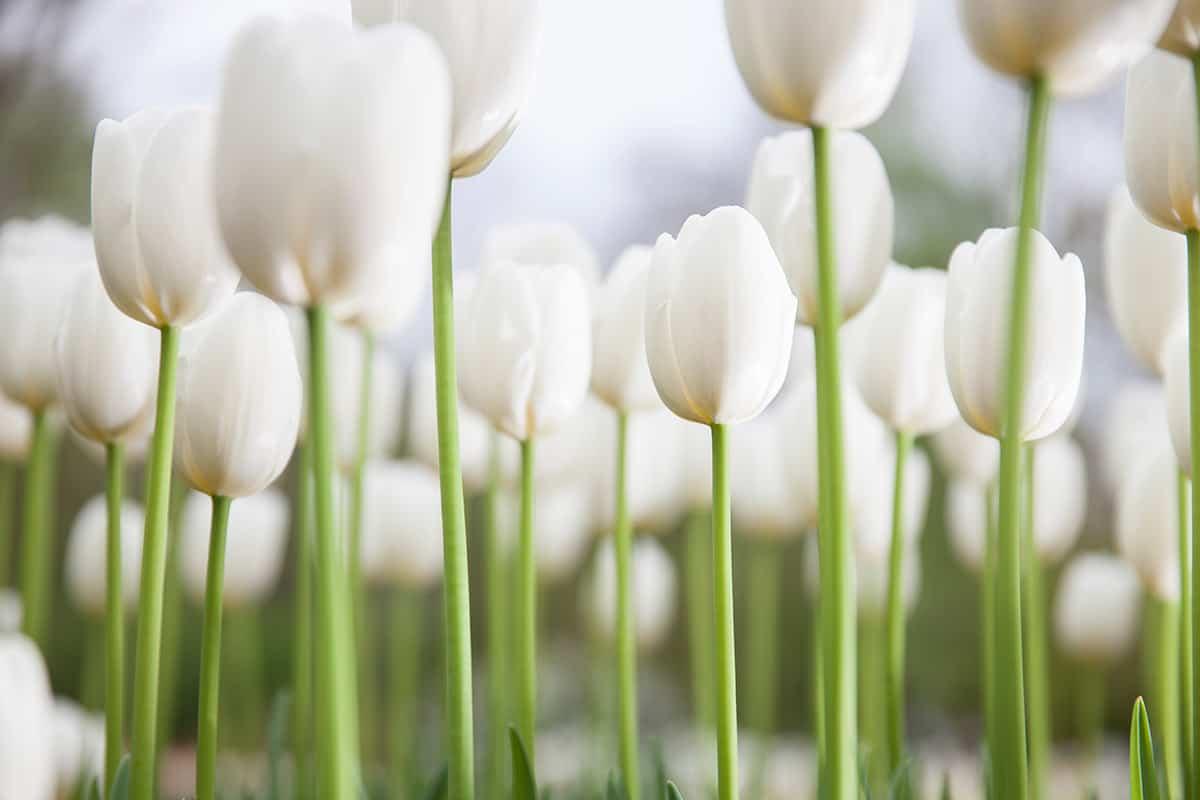 Keukenhof tulpen tulips photo foto photograpy 2014