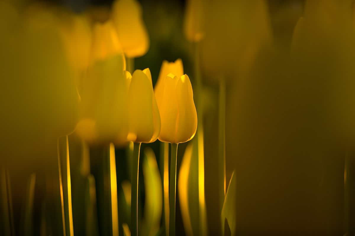 Tulpen Keukenhof 2015 geel