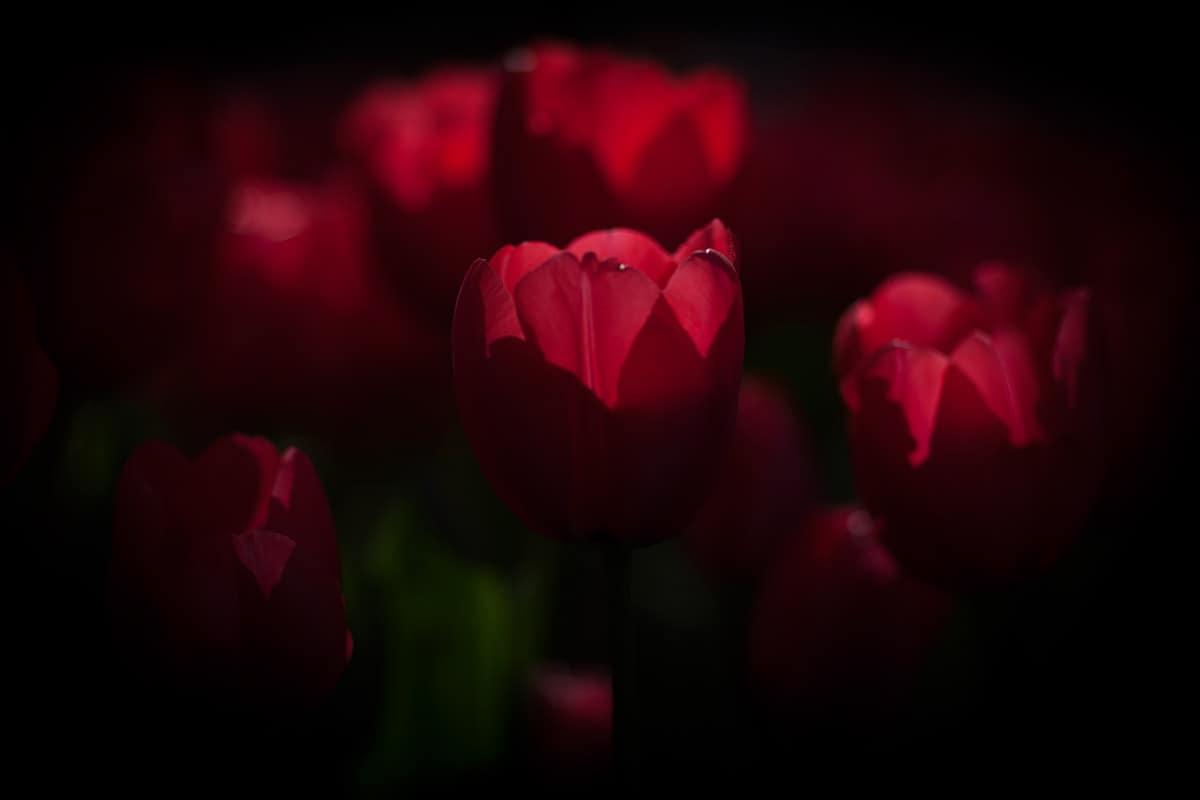 tulp, tulip, tulips, Keukemhof, 2015, Holland