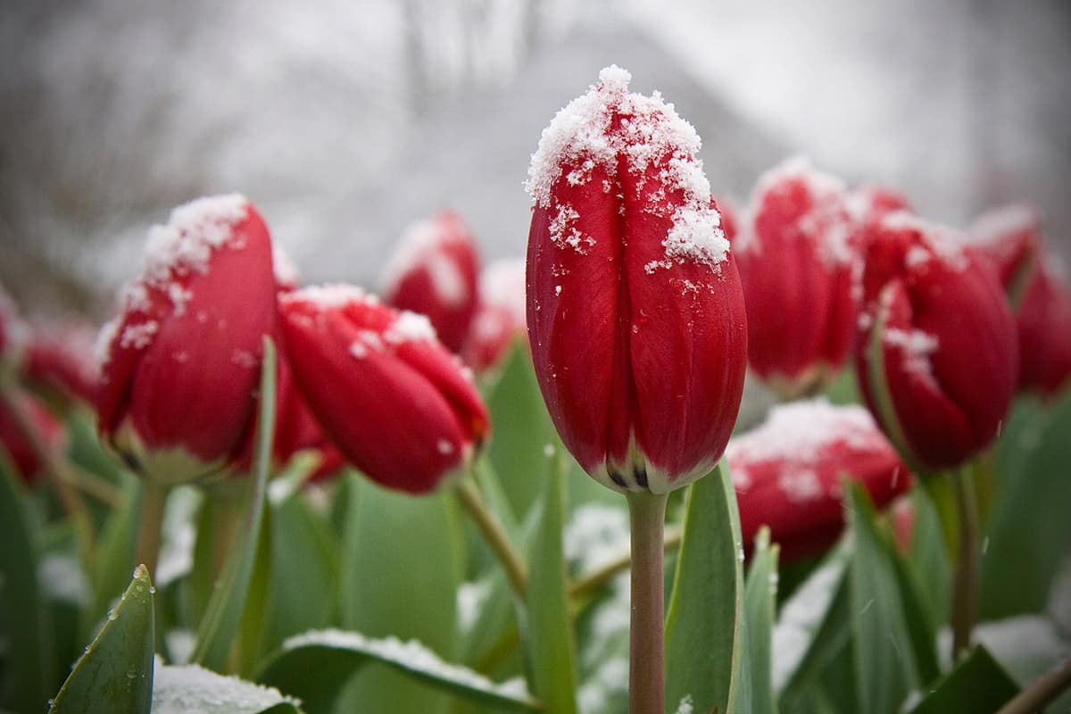 tulips snow tulpen sneeuw Holland Netherlands dutch