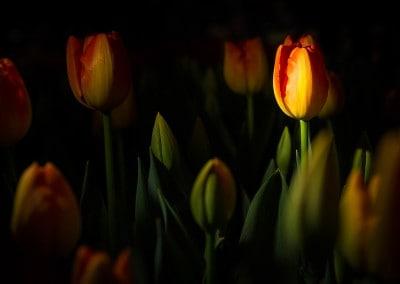 tulips in light