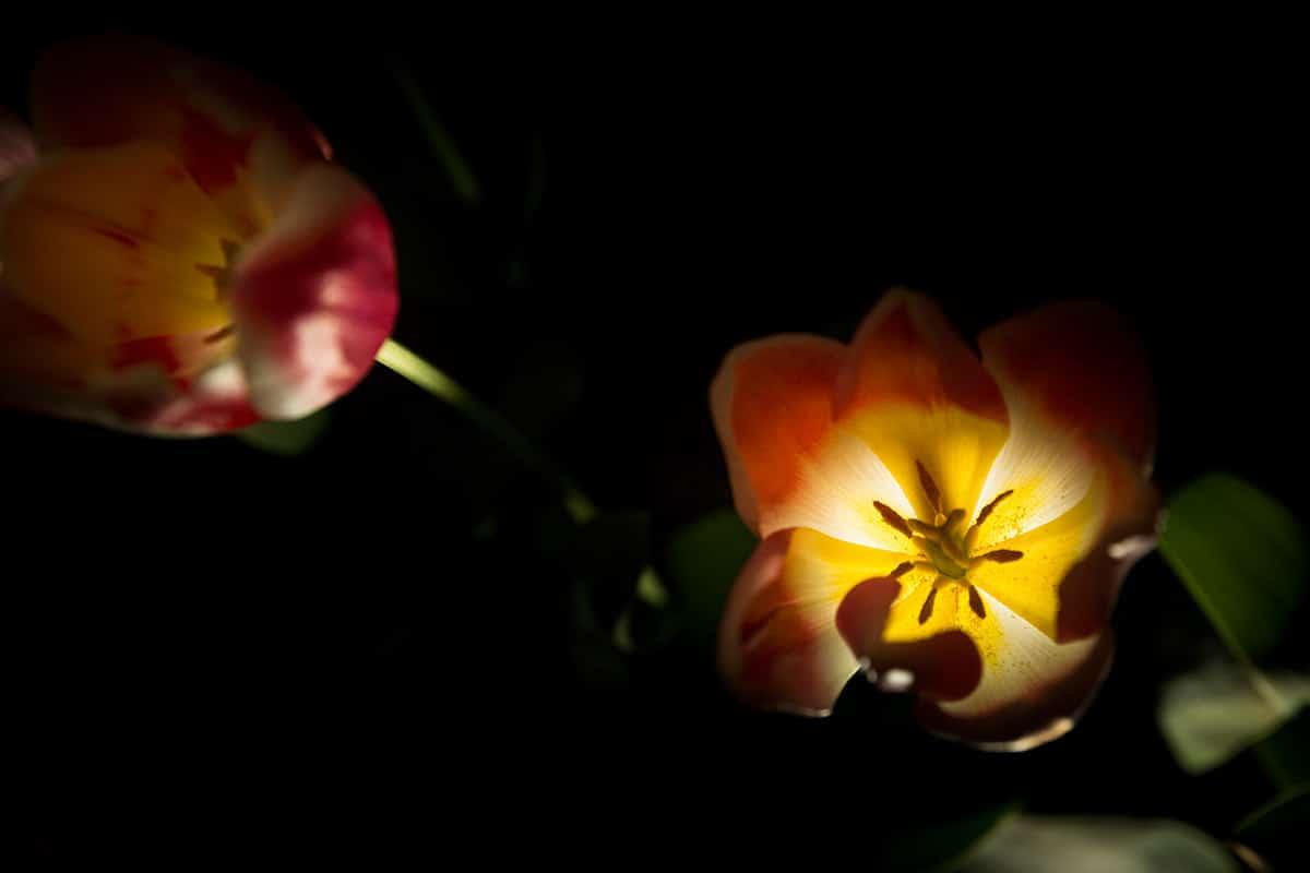 Tulpen in licht - Professionele keukenhoed ...