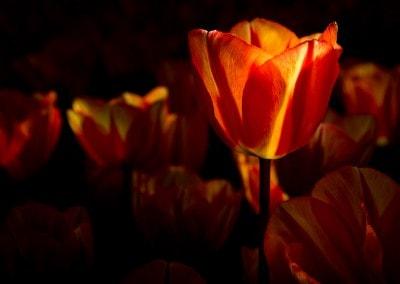 Tulpen in licht (serie)