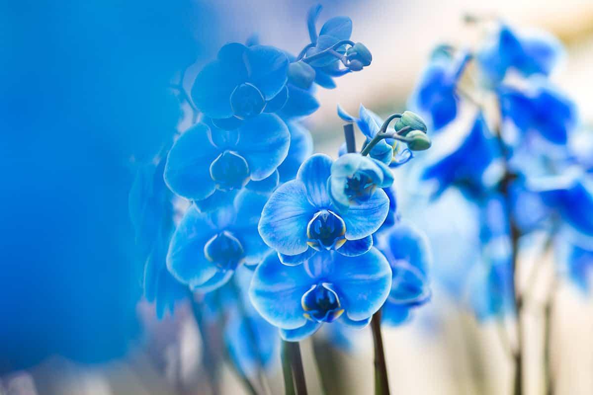 Blauwe orchidee blue orchid Keukenhof