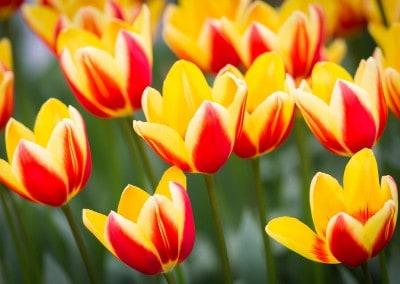 Tulpen binnen in de Keukenhof maart opening begin
