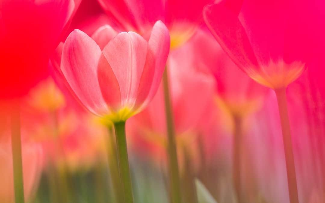 Tulpen eind maart begin april in de Keukenhof