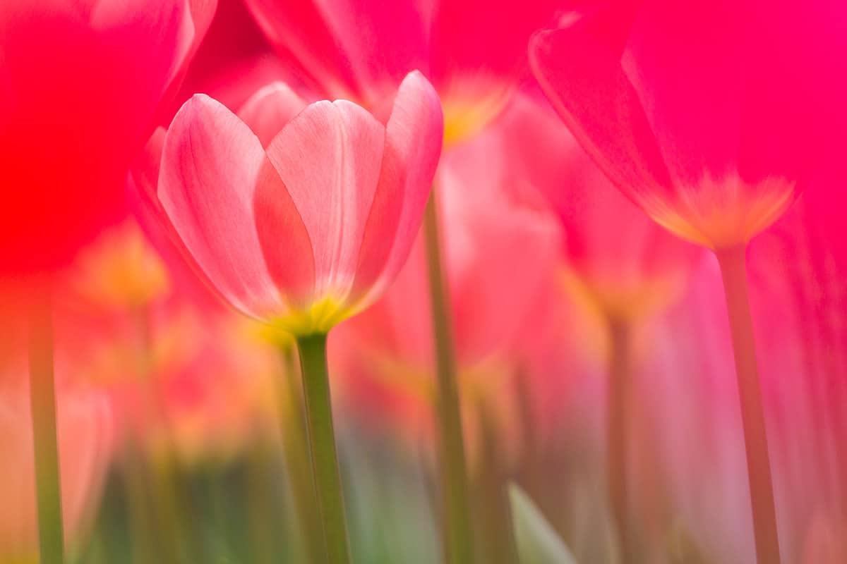 Tulpen eind maart begin april in de keukenhof - Professionele keukenhoed ...