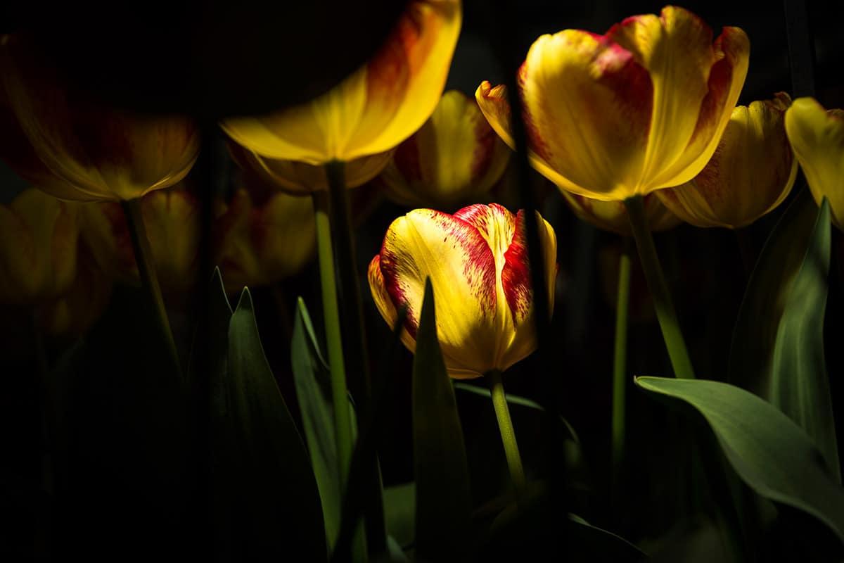 Tulpen in Licht tulips in Light