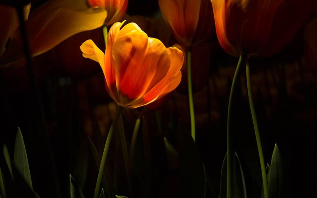 Tulpen in Licht
