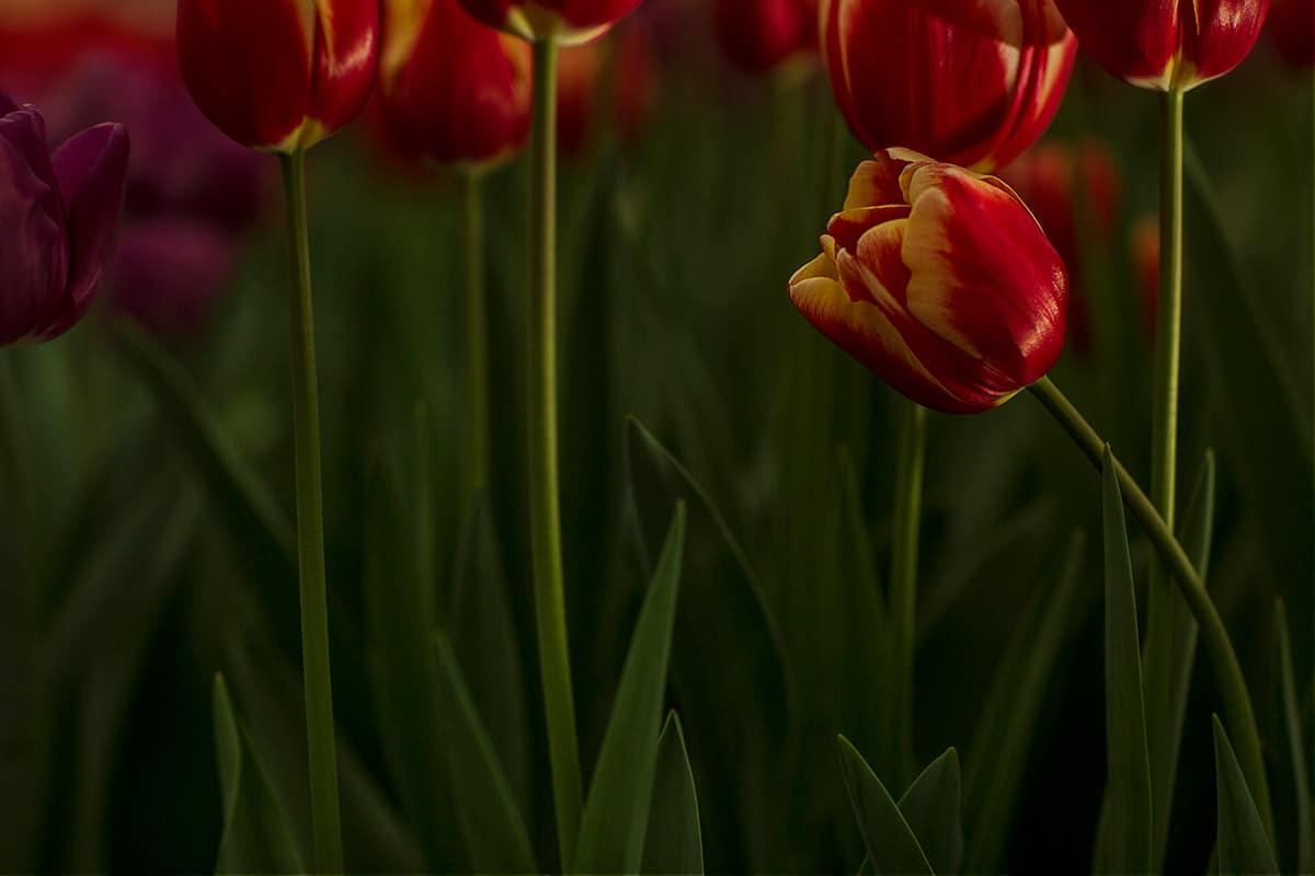 Tulpen in het licht