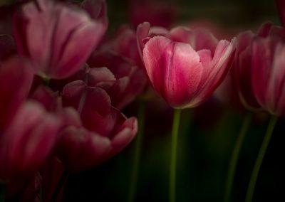 Photos Tulips in Light
