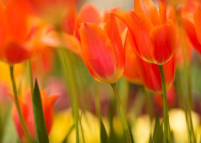 tulips photos april