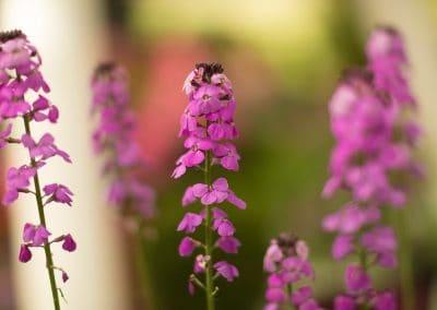 dutch garden flower