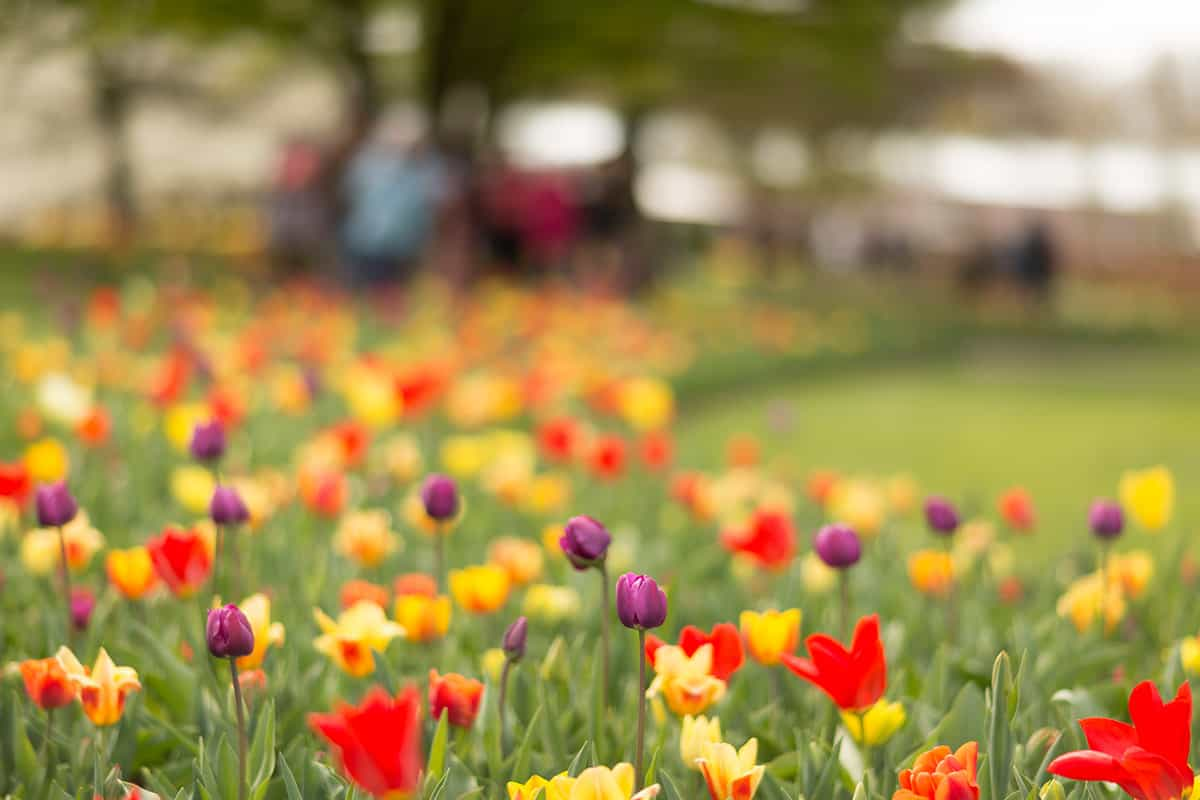 Dutch Tulip Festival