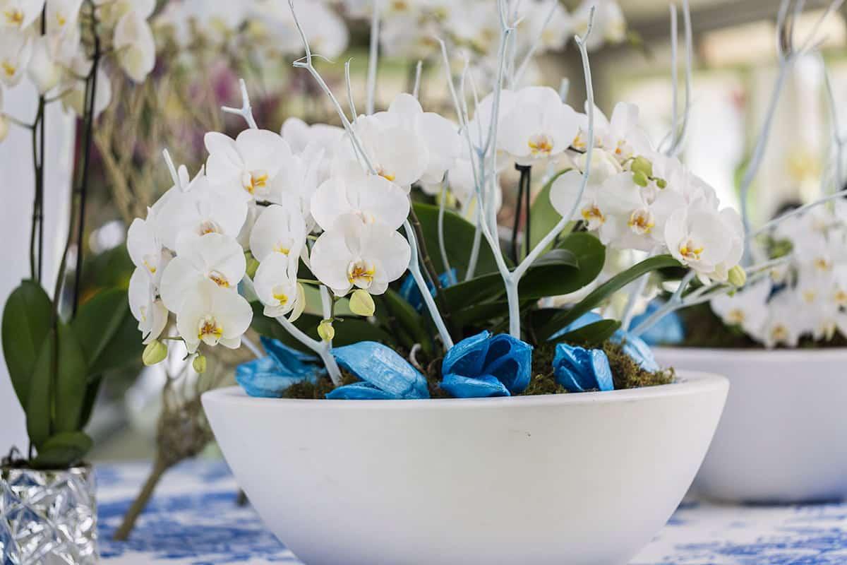 white orchid Keukenhof