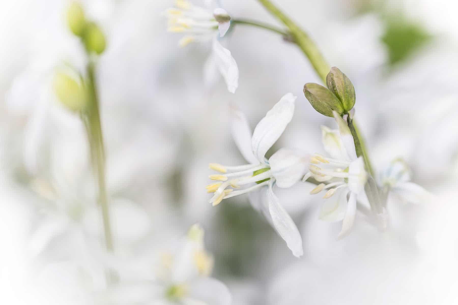 Witte bloemen Keukenhof