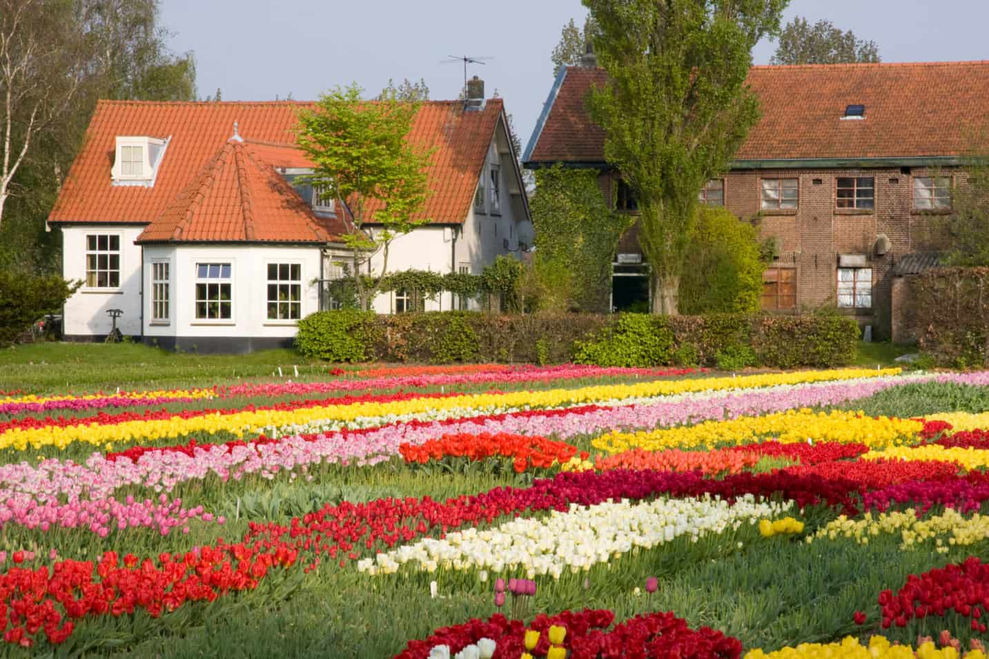 best time visit dutch flower fields