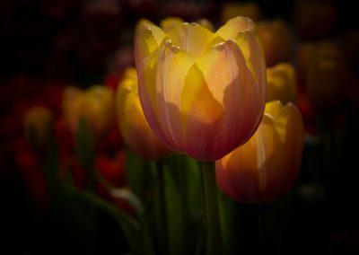 Dutch Tulips in Light