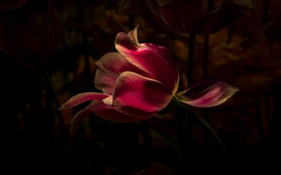 Dutch Tulips in Light