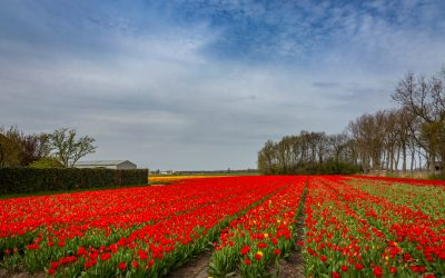 Flower fields near keukenhof