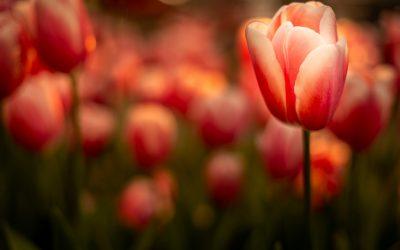 Indoor Tulip Show Keukenhof